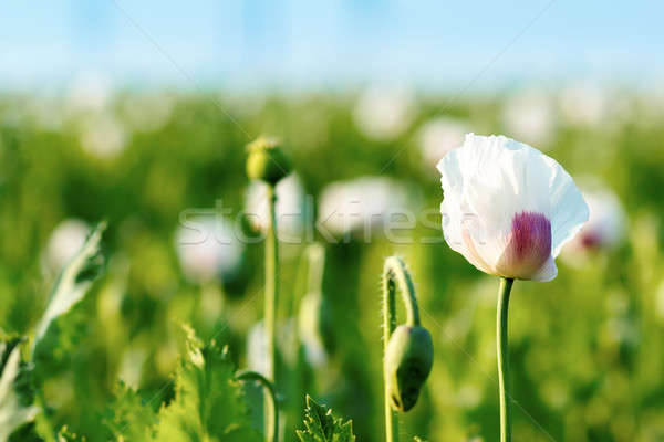 agriculture poppy field Stock photo © artush