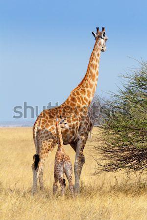 adult female giraffe with calf suckling breast milk Stock photo © artush