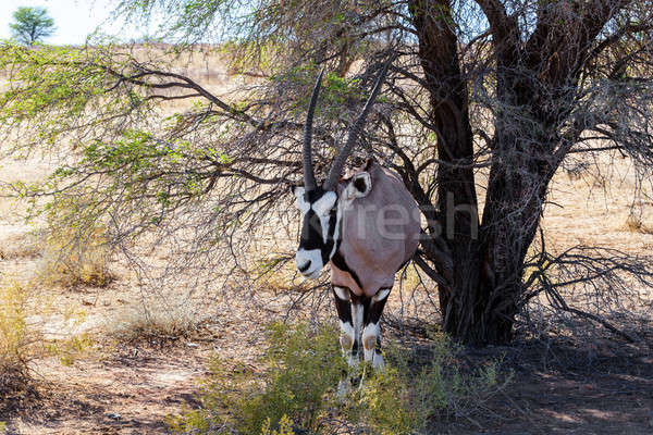 Gemsbok, Oryx gazella on sand dune Stock photo © artush