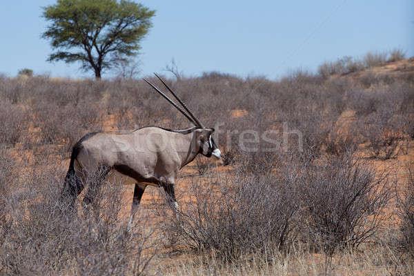 close up portrait of Gemsbok, Oryx gazella Stock photo © artush