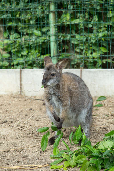 grazzing Red-necked Wallaby (Macropus rufogriseus) Stock photo © artush