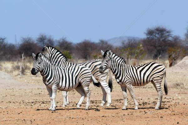 Zèbre africaine Bush parc Namibie faune Photo stock © artush