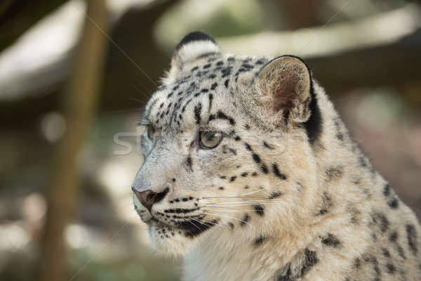Neve leopardo retrato big cat textura gato Foto stock © artush