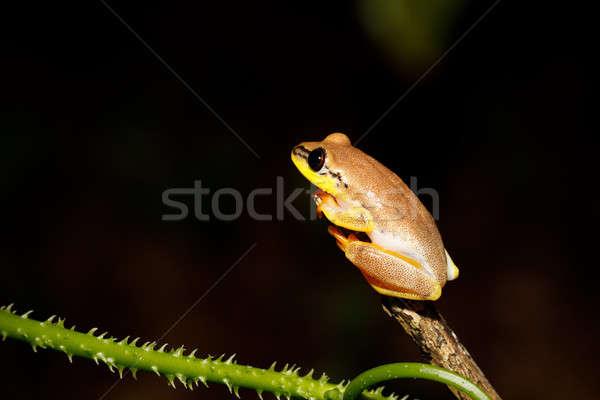 Faible jaune famille Madagascar parc Photo stock © artush