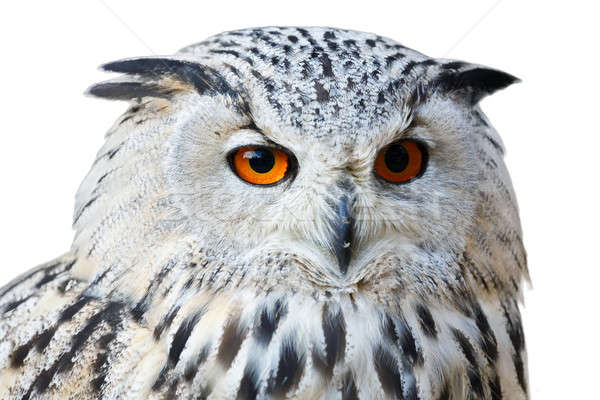 Isolé eagle owl grand belle oranges yeux Photo stock © artush