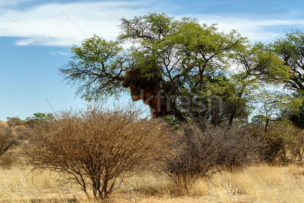 African masked weaver big nest on tree Stock photo © artush