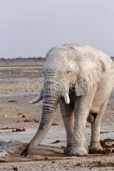 White african elephants on Etosha waterhole Stock photo © artush