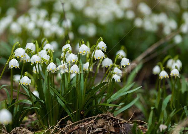 early spring snowflake flowers Stock photo © artush
