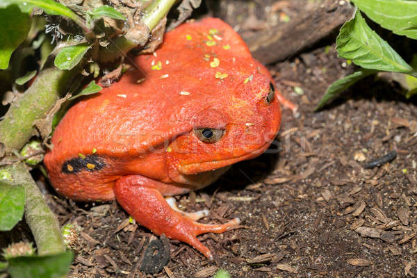 big red Tomato frogs, Dyscophus antongilii Stock photo © artush