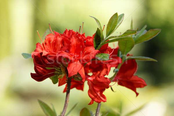 Red rhododendron azalea blooms in spring garden Stock photo © artush