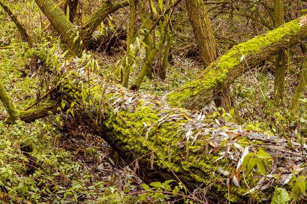 Luminoso verde muschio albero Foto d'archivio © artush