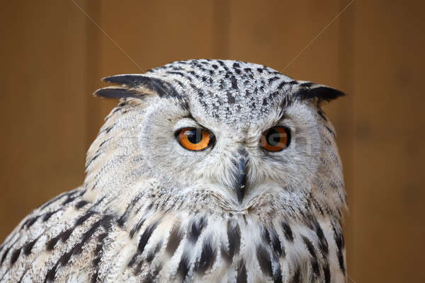 Eagle owl grand belle oranges yeux portrait Photo stock © artush