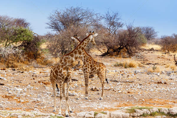two Giraffa camelopardalis near waterhole Stock photo © artush