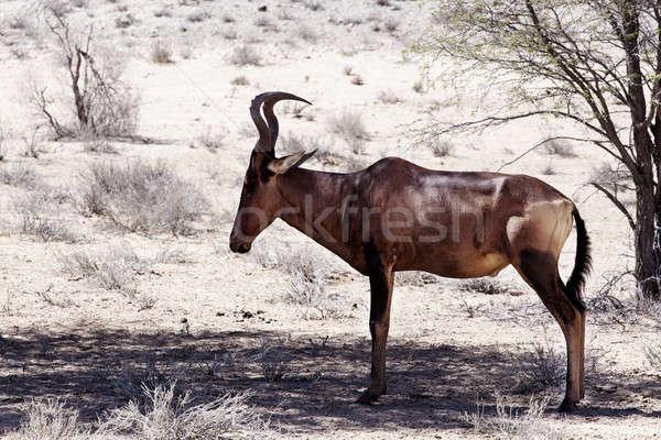 A Common tsessebe (Alcelaphus buselaphus) stood facing the camer Stock photo © artush