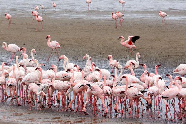 Rosy Flamingo colony in Walvis Bay Namibia Stock photo © artush