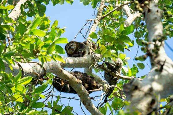 Endemic Sulawesi Cuscus bear on the tree Stock photo © artush