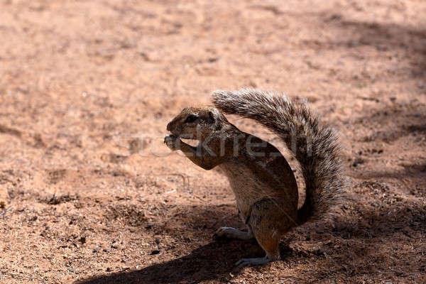 Dél-afrikai föld mókus kiemelt farok Dél-Afrika Stock fotó © artush