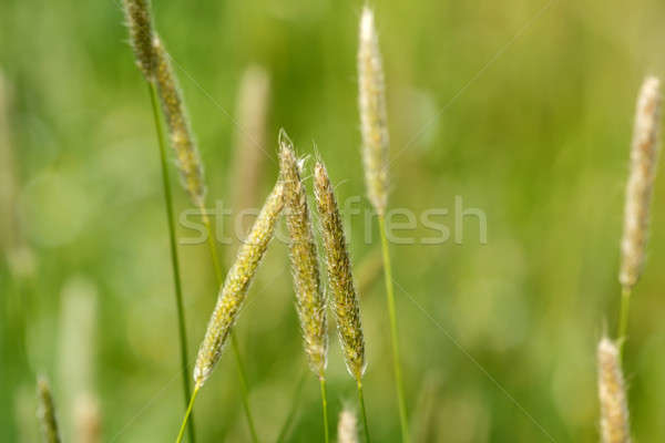Tall plants bending by the wind Stock photo © artush
