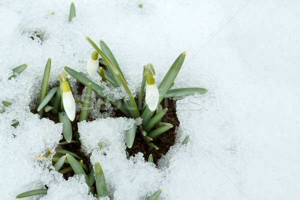 Snowdrop bloom in springtime under snow Stock photo © artush