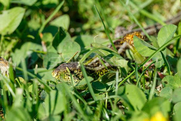 small lizard Lacerta agilis Stock photo © artush