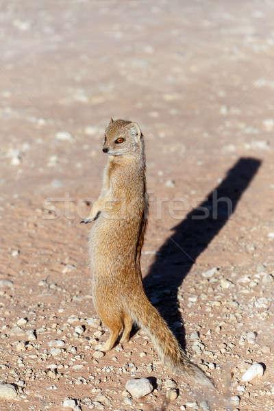 Yellow mongoose, Kalahari desert, South Africa Stock photo © artush