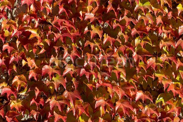 Jesienią żółty czerwony pozostawia tle drzewo Zdjęcia stock © artush
