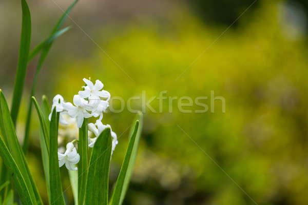 Beyaz sümbül çiçek bahar bahçe Stok fotoğraf © artush