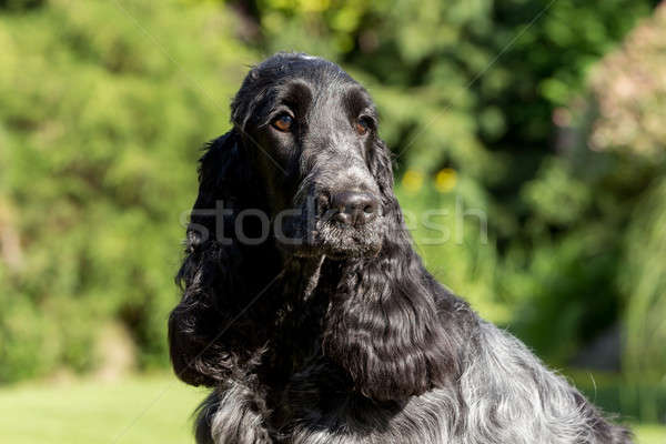 outdoor portrait of english cocker spaniel Stock photo © artush