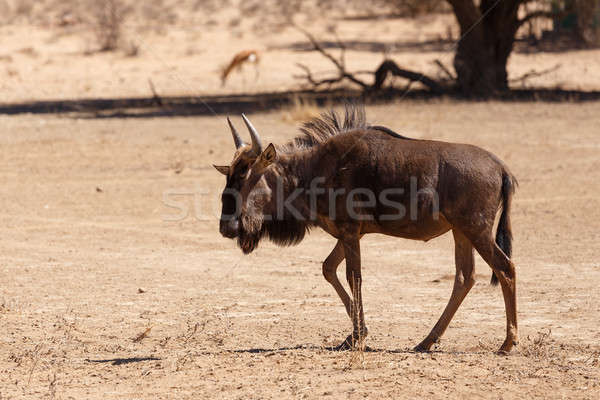 Stock photo: Gnu, wildebeest on kalahari desert, Africa safari wildlife