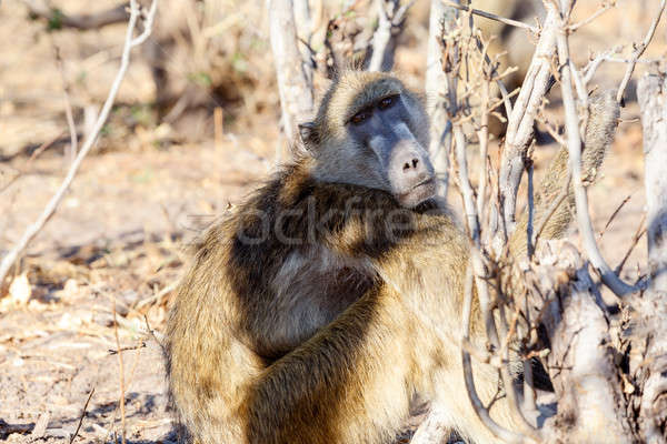 monkey Chacma Baboon family, Africa safari wildlife and wilderness Stock photo © artush