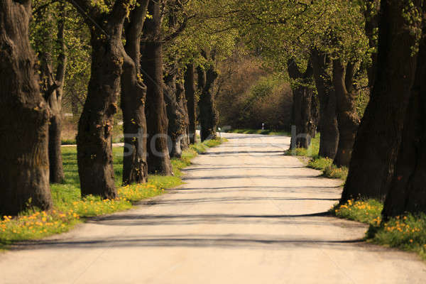asphalt road and tree alley in spring Stock photo © artush