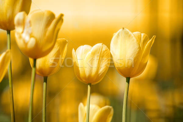 spring yellow tulips Stock photo © artush