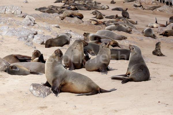 огромный колония коричневый мех печать морем Сток-фото © artush
