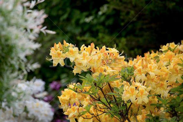 Geel azalea bush bloesem voorjaar tuin Stockfoto © artush