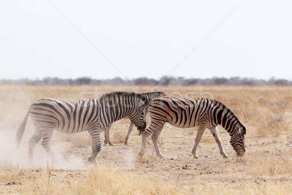 Zebra poeirento areia branca parque Namíbia animais selvagens Foto stock © artush