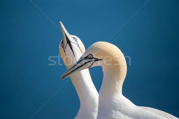 Norte aves amor pormenor cabeça retrato Foto stock © artush