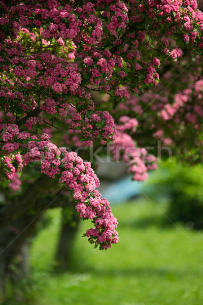 Flowers pink hawthorn. Tree pink hawthorn Stock photo © artush
