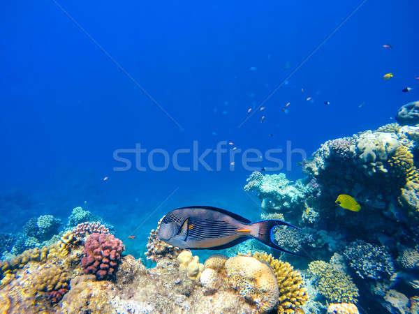 коралловые рыбы Египет глубокий Сток-фото © artush
