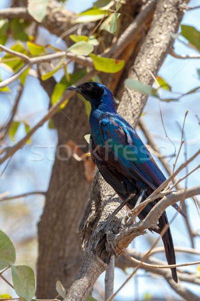 bird Cape starling, Okavango, Botswana Africa Stock photo © artush