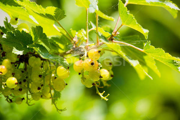 green currants green currants with shallow focus Stock photo © artush