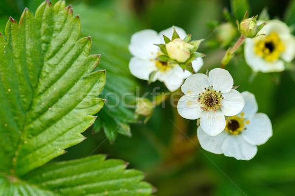 Woodland strawberry flowering Stock photo © artush