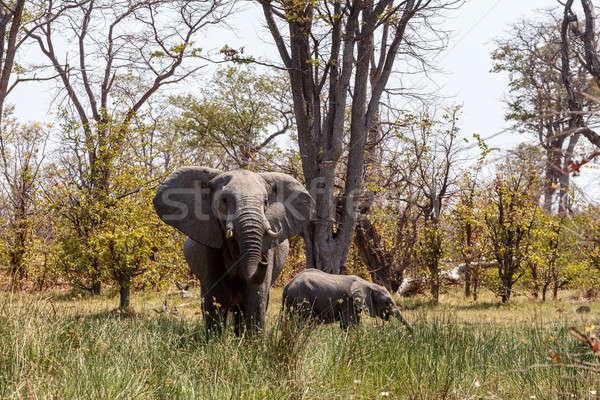 Африканский слон игры резерв дельта Ботсвана Сток-фото © artush