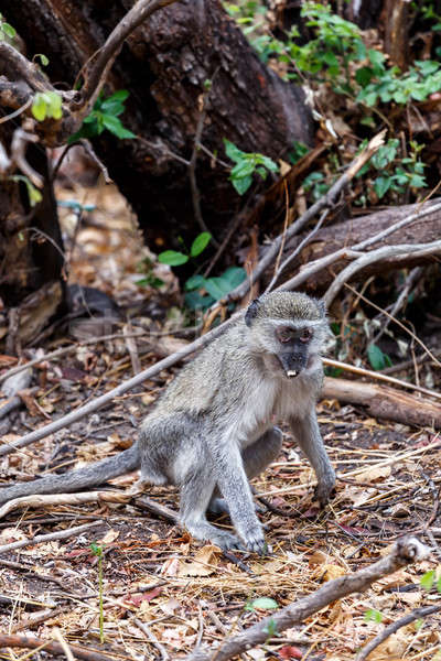 Vervet monkey, Chlorocebus pygerythrus Stock photo © artush