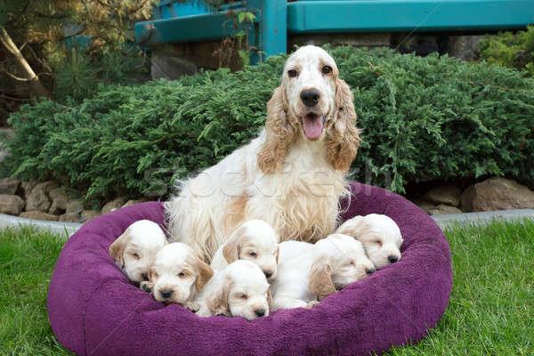 family of lying English Cocker Spaniel puppy Stock photo © artush