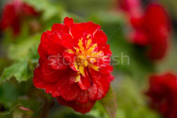 Makró virágok virág rendkívüli szépség szeretet Stock fotó © artush