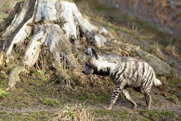 Gestreift Hyäne Kopf dunkel Augen Hund Stock foto © artush