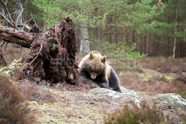 Bruine beer winter bos groot vrouwelijke Europa Stockfoto © artush