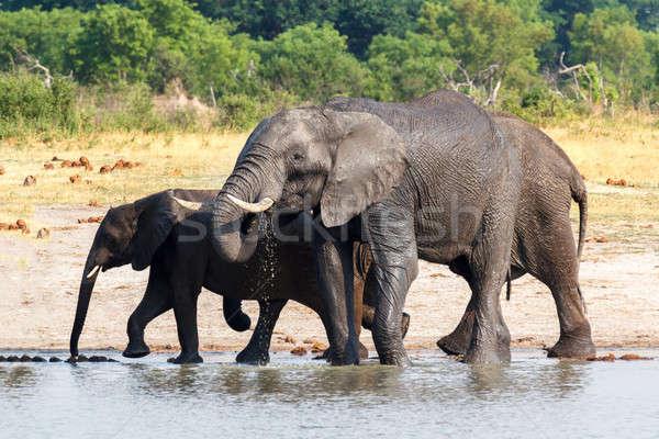 Elefántok iszik nyáj afrikai sáros park Stock fotó © artush