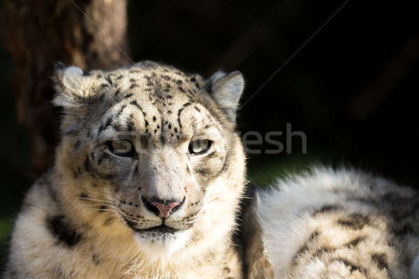 snow leopard, Irbis Uncia uncia Stock photo © artush