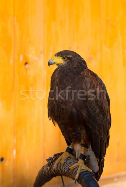 Harris Hawk (Parabuteo unicinctus) Stock photo © artush